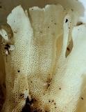 Hydnopolyporus fimbriatus image