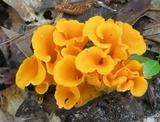 Craterellus odoratus image