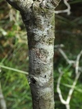Arthonia elegans image