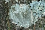 Lecanora argentata image