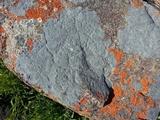 Image of Lichenostigma elongatum