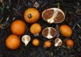 Cortinarius peraurantiacus image