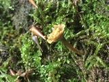 Craterellus olivaceus image