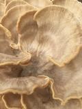 Meripilus sumstinei image