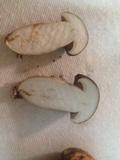 Tylopilus williamsii image