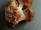 Cortinarius latus image