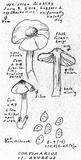 Cortinarius anomalus image