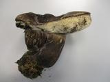 Tylopilus alboater image