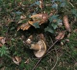 Cortinarius glaucopus var. olivaceus image