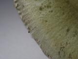 Russula heterophylla image