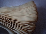 Russula senecis image