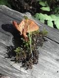 Lactarius riparius image