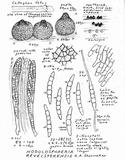 Image of Nodulosphaeria revelstokensis