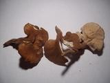 Pseudofistulina radicata image