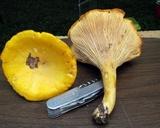 Cantharellus phasmatis image