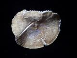 Lactifluus gerardii image