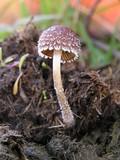 Psathyrella hirta image