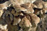 Plicaturopsis crispa image