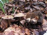 Cortinarius luhmannii image