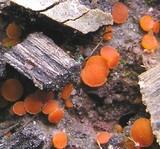 Scutellinia crucipila image