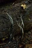 Xylaria magnoliae image