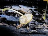 Pluteus chrysophlebius image
