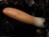 Hypocrea alutacea image