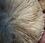 Amanita subsolitaria image