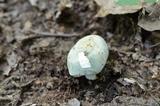 Russula redolens image