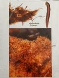 Hydnochaete olivacea image