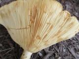Lactarius psammicola image