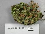 Cladonia piedmontensis image