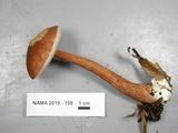 Austroboletus gracilis image