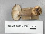Lactarius mucidus image