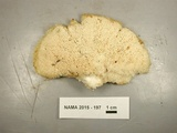 Climacocystis borealis image