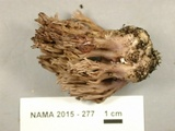Ramaria fennica image