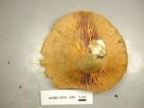 Lactarius sordidus image