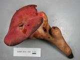 Fistulina hepatica image