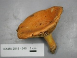 Lactarius croceus image