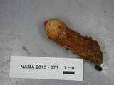 Calostoma lutescens image