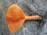 Lactarius thyinos image