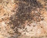 Melanospora lagenaria image