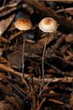 Crinipellis setipes image