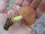 Chalciporus pseudorubinellus image
