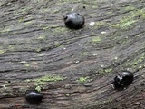Camarops petersii image