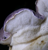 Tylopilus rubrobrunneus image