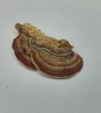 Antrodiella fragrans image