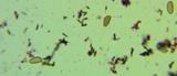Tylopilus sordidus image