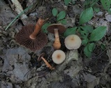 Cortinarius rubripes image