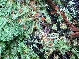 Cladonia umbricola image